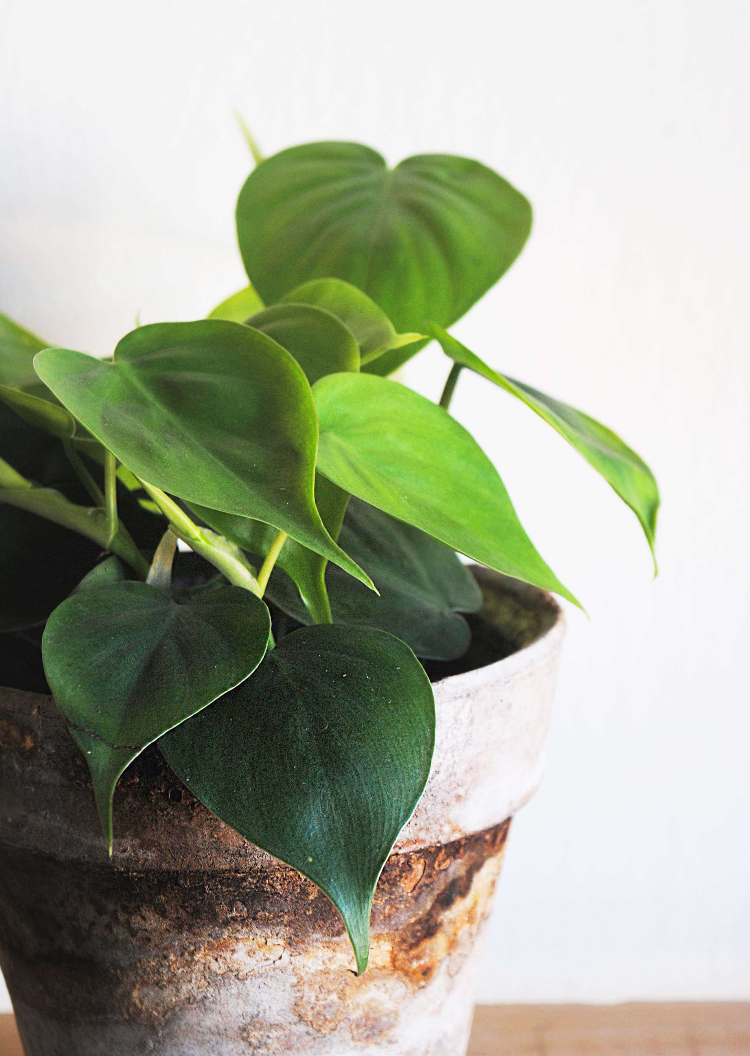 Philodendron Hederaceum Scandens